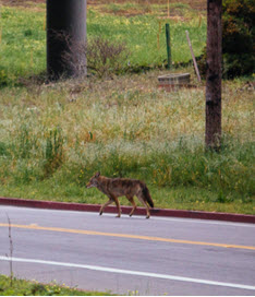 10 fascinating facts about urban coyotes